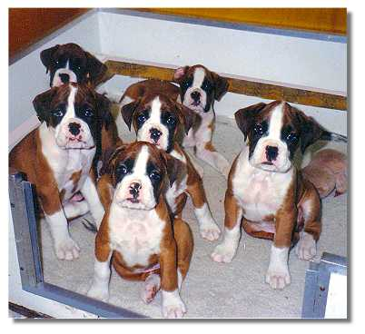 6 typical Taratan puppies
